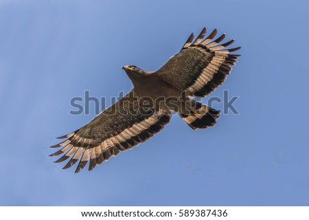 Hawk is similar to an eagle, a bird of prey as well. But the Hawks are smaller than a hooked beak and sharp claws flying strong in spreading fast and wide long wings can fly or heat.
