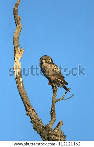 Hawk owl perching on tree