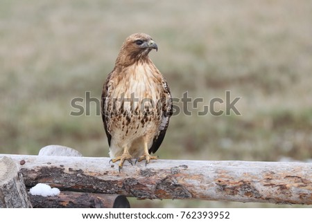 Hawk perching and looking alert