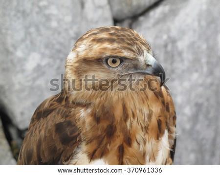 Hawk portrait close-up at Jade Dragon Mountain, Lijiang, China - stock photo
