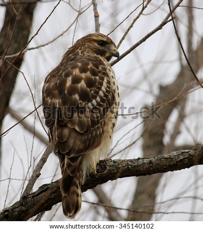 Hawk sitting on a bear branch on a cloudy day in late fall/Hawk On the Tree - stock photo