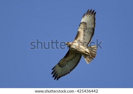 Hawk soaring in the sky. - stock photo