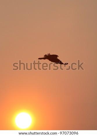 Hawk taking flight in scenic Saskatchewan - stock photo
