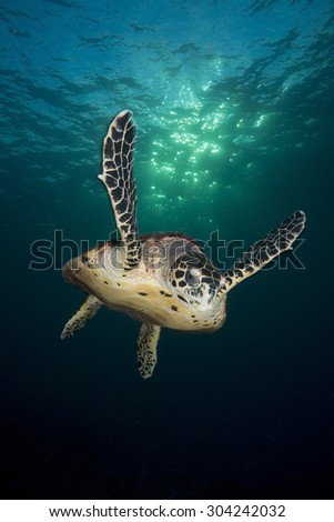 HAWKBILL SEA TURTLE SWIMMING IN THE SUNLIGHT