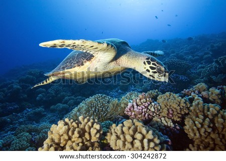 HAWKBILL SEA TURTLE SWIMMING ON A BLUE CLEAR WATER