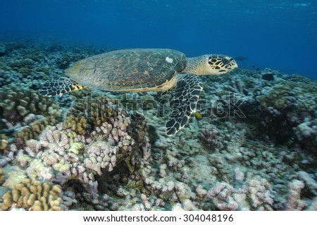 HAWKBILL SEA TURTLE SWIMMING ON THE GARDEN CORAL