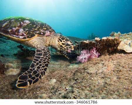 Hawkbill turtle feeding on soft corals. - stock photo