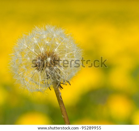 Hawkbit with a yellow background - stock photo