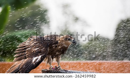 Hawks Brown playing with water. - stock photo