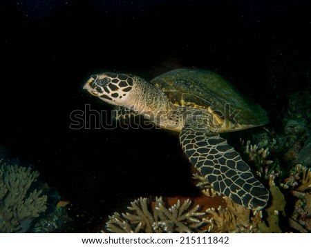 Hawksbil turtle (Eretmochelys imbricata), in the night, swimming close up to the reef. Indonesia, Komodo. - stock photo