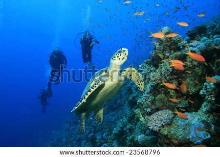 Hawksbill Sea Turtle and family of scuba divers - stock photo