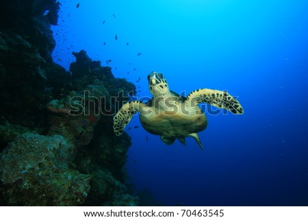 Hawksbill Sea Turtle (Eretmochelys imbricata) - stock photo