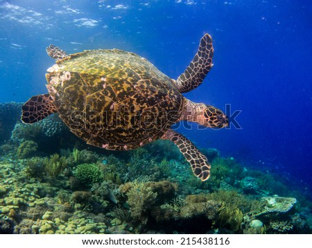 Hawksbill sea turtle (Eretmochelys imbricata) swimming close to the reef, Komodo, Indonesia.
