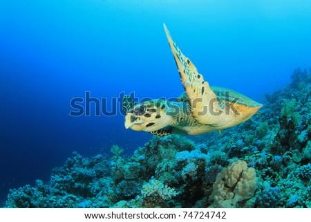 Hawksbill Sea turtle (Eretmochelys imbricata) swims over coral reef - stock photo