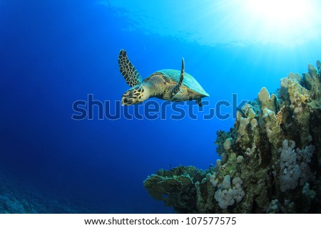 Hawksbill Sea Turtle (Eretmochelys imbricata) swims past coral reef