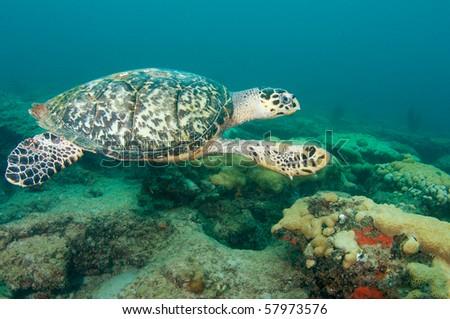 Hawksbill Sea Turtle-Eretmochelys imbriocota, picture taken in Broward County Florida - stock photo