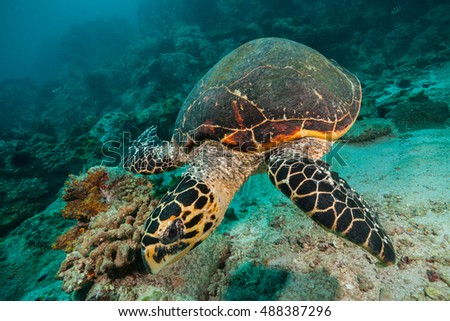 Hawksbill Sea Turtle flowing in Indian ocean