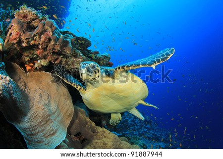 Hawksbill Sea Turtle on Coral Reef - stock photo