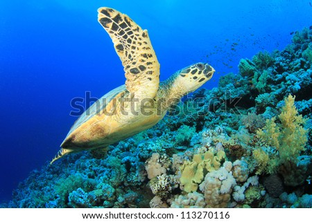 Hawksbill Sea Turtle on coral reef in the Red Sea - stock photo
