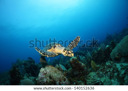 Hawksbill sea turtle swimming above the coral reef  - Riviera Maya, Mexico - stock photo