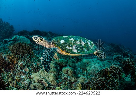 Hawksbill Sea Turtle swimming around the coral reefs in Gili, Lombok, Nusa Tenggara Barat, Indonesia underwater photo. There are various coral reefs. - stock photo