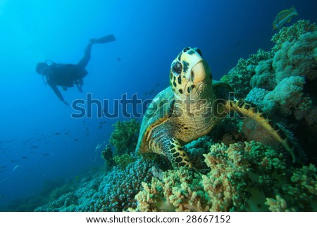 Hawksbill Sea Turtle with Scuba diver silhouetted in background - stock photo