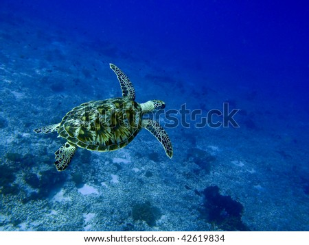 Hawksbill turtle at the Gilli Islands