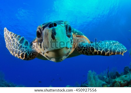Hawksbill Turtle Close Up.