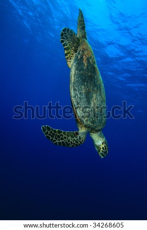 Hawksbill Turtle dives down in blue water