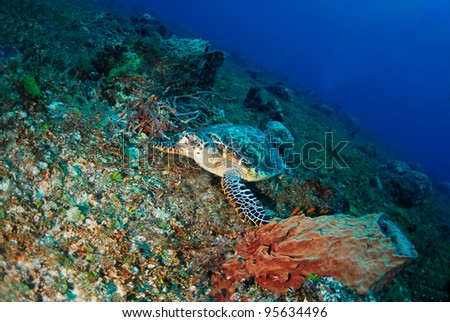 Hawksbill turtle eating sponges in Playa del Carmen Mexico