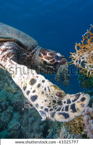 Hawksbill turtle (Eretmochelys imbricata), Endangered, feeding on soft coral reef. Ras Mohammed national park. Red Sea, Egypt. - stock photo