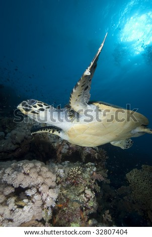 Hawksbill turtle (eretmochelys imbricata), endangered, in the early morning. Red Sea, Egypt. - stock photo