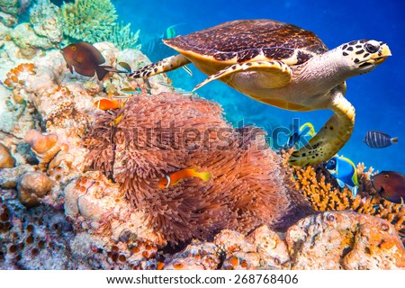 Hawksbill Turtle - Eretmochelys imbricata floats under water. Maldives - Ocean coral reef. Warning - authentic shooting underwater in challenging conditions. A little bit grain and maybe blurred. - stock photo
