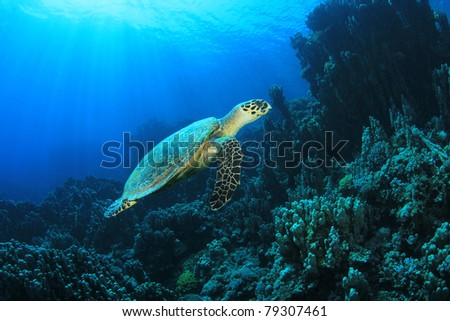 Hawksbill Turtle (Eretmochelys imbricata) on coral reef in sunlight - stock photo