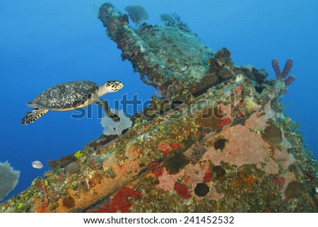 Hawksbill Turtle (Eretmochelys imbricata) swimming over a coral encrusted shipwreck - Roatan, Honduras  - stock photo