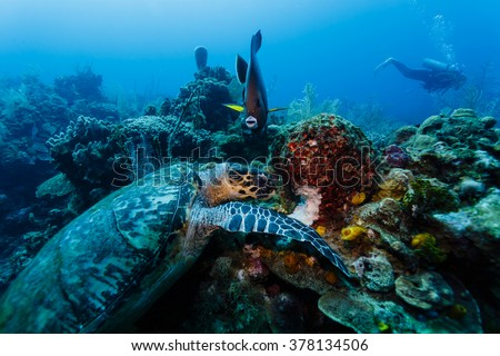 Hawksbill turtle, Eretmochelys imbricate, eating on the coral reef in Caribbean.
