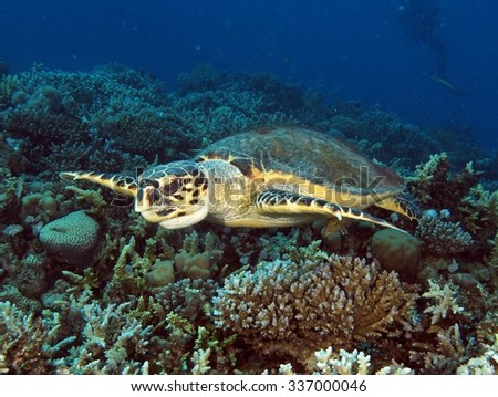 Hawksbill turtle (Ertemochelys imbricata) and coral reef - stock photo