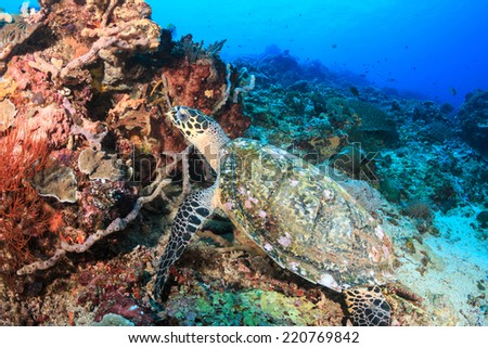 Hawksbill turtle feeding on a tropical coral reef - stock photo