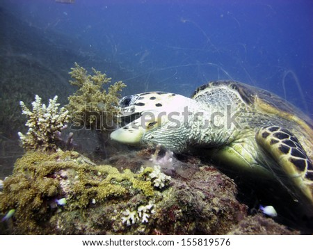 Hawksbill turtle feeding on broccoli coral - stock photo