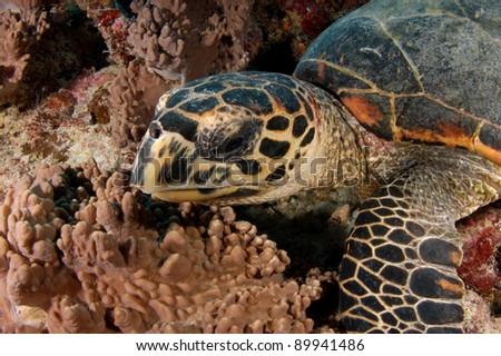 Hawksbill Turtle feeding on reef - stock photo