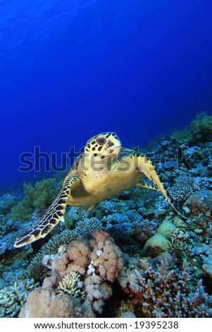 Hawksbill Turtle feeding on Soft Coral - stock photo