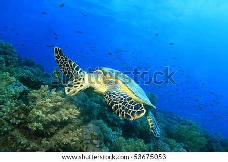 Hawksbill Turtle feeds on soft corals - stock photo