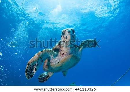 Hawksbill Turtle having lunch on the Wreck of the Oro Verde, Grand Cayman