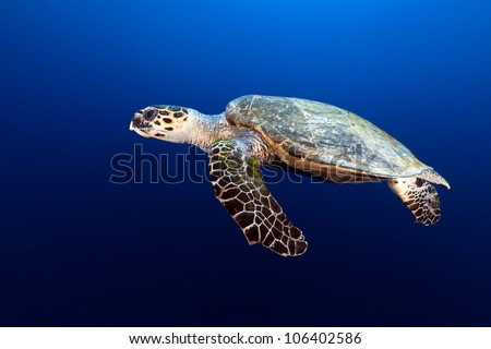 Hawksbill turtle in the Red Sea - stock photo