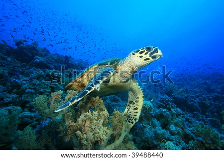 Hawksbill Turtle on a coral reef in the Red Sea - stock photo