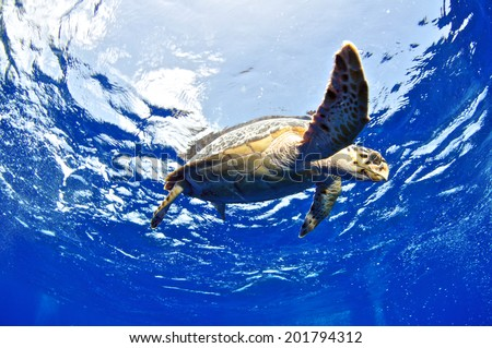 Hawksbill Turtle on surface, Grand Cayman - stock photo