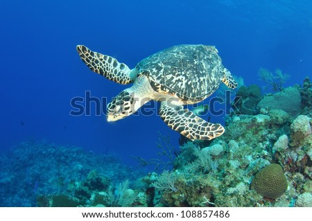 Hawksbill Turtle ontop of the wall, Grand Cayman - stock photo