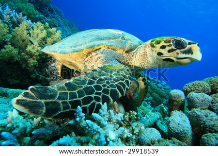 Hawksbill Turtle rests on a coral reef - stock photo