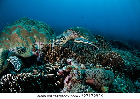 Hawksbill Turtle swimming around the coral reefs in Gili, Lombok, Nusa Tenggara Barat, Indonesia underwater photo. There are various coral reefs. - stock photo