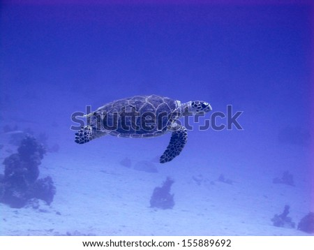 Hawksbill turtle swimming in the blue - stock photo